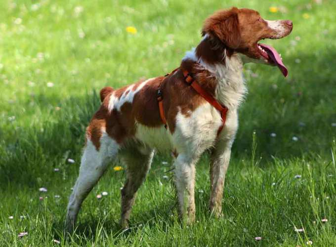 liver and white brittany spaniel liver and white brittany spaniel puppies for sale brittany dog liver and white