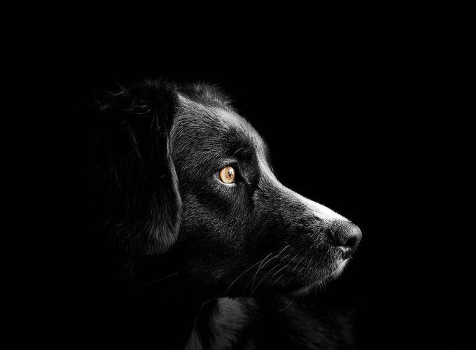 Black Icelandic Sheepdog