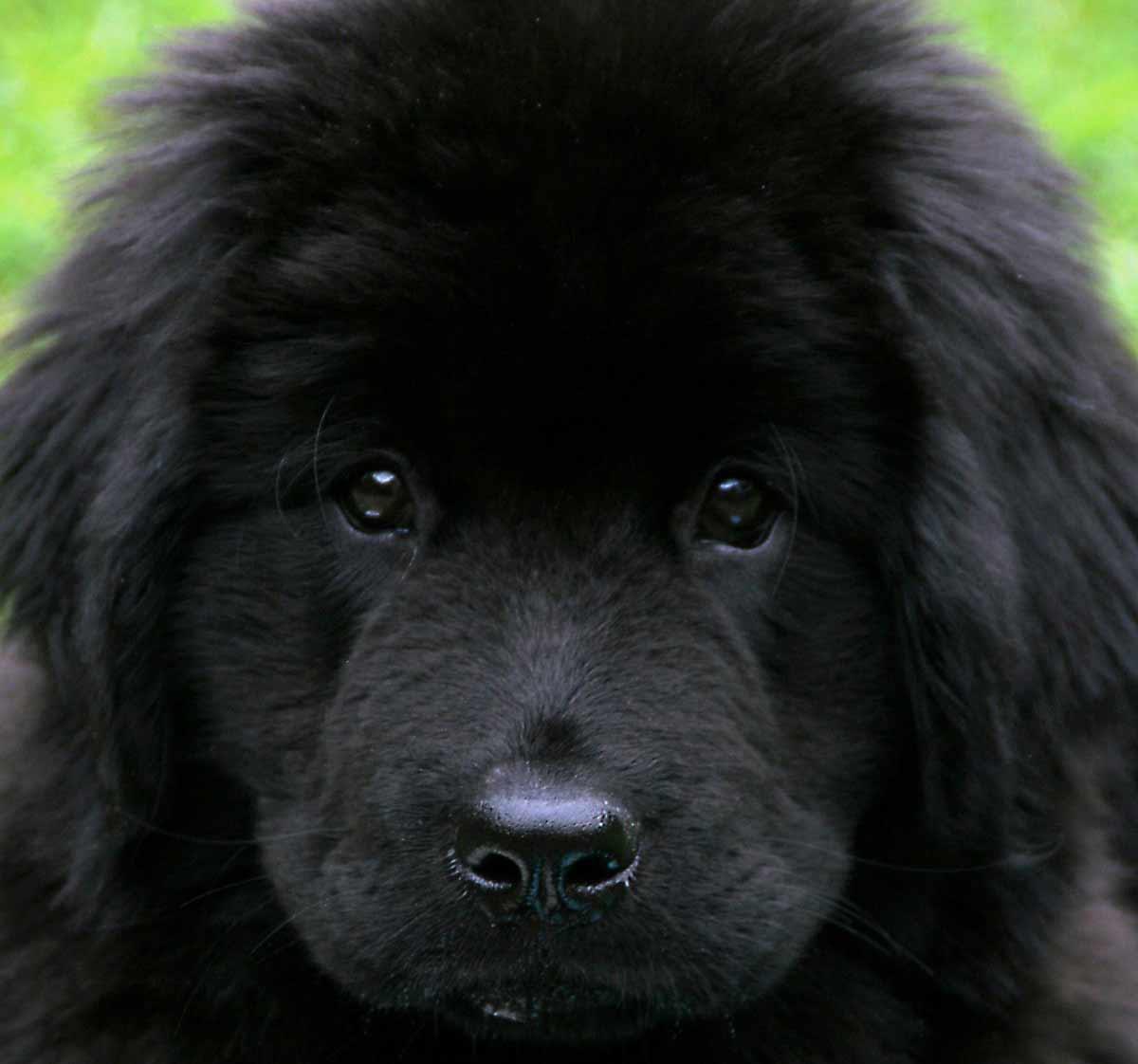 Black Tibetan Spaniel