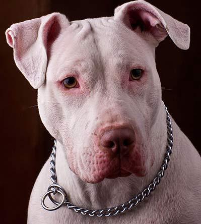 Colby Pitbull Bloodline
