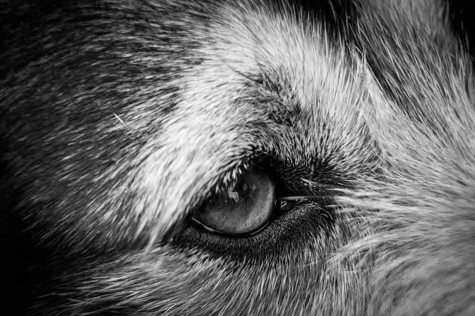 kugsha dog kugsha kugsha puppy kugsha puppies for sale kugsha for sale kugsha price kugsha dog for sale kugsha dog price kugsha dog breed kugsha dog cost kugsha breeders