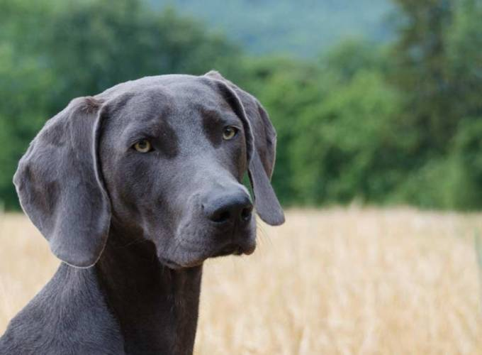 Texas Blue Lacy Dog