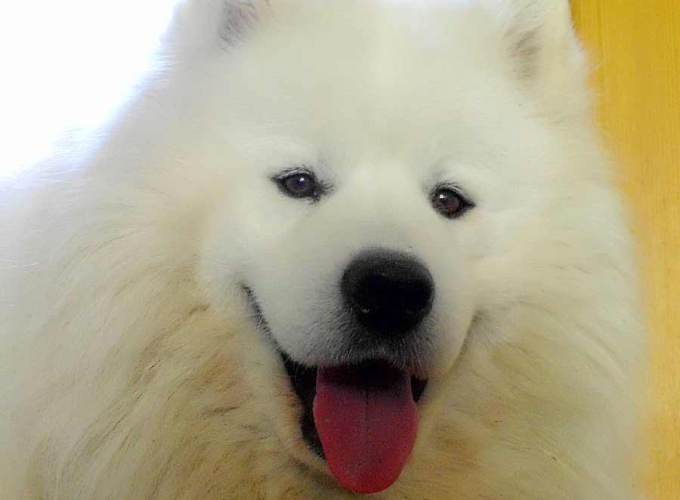 Biscuit Samoyed