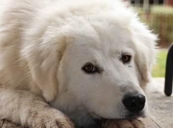 Maremmano-Abruzzese Sheepdog