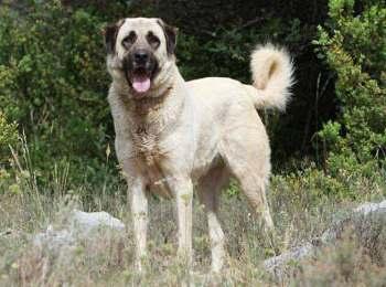 Anatolian Shepherd Kangal Dog