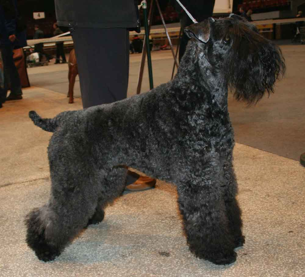 Kerry Blue Terrier without a beard