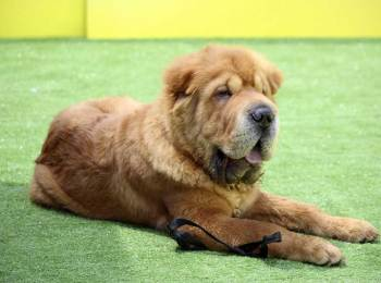 Long Haired Shar-Pei