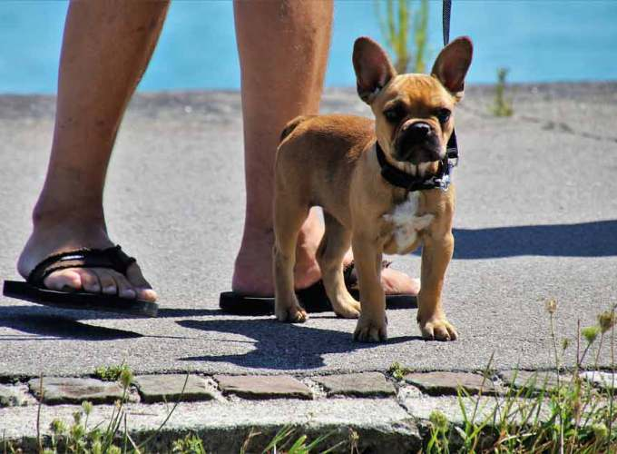 training your puppy to walk on a leash