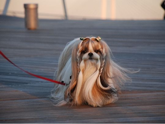 21 Cute Pet Dogs With Trendy Hairstyles Dog Fashion