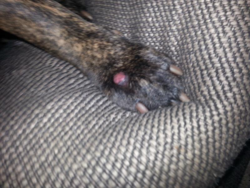 Dogs Swollen Raw Spot Top Foot