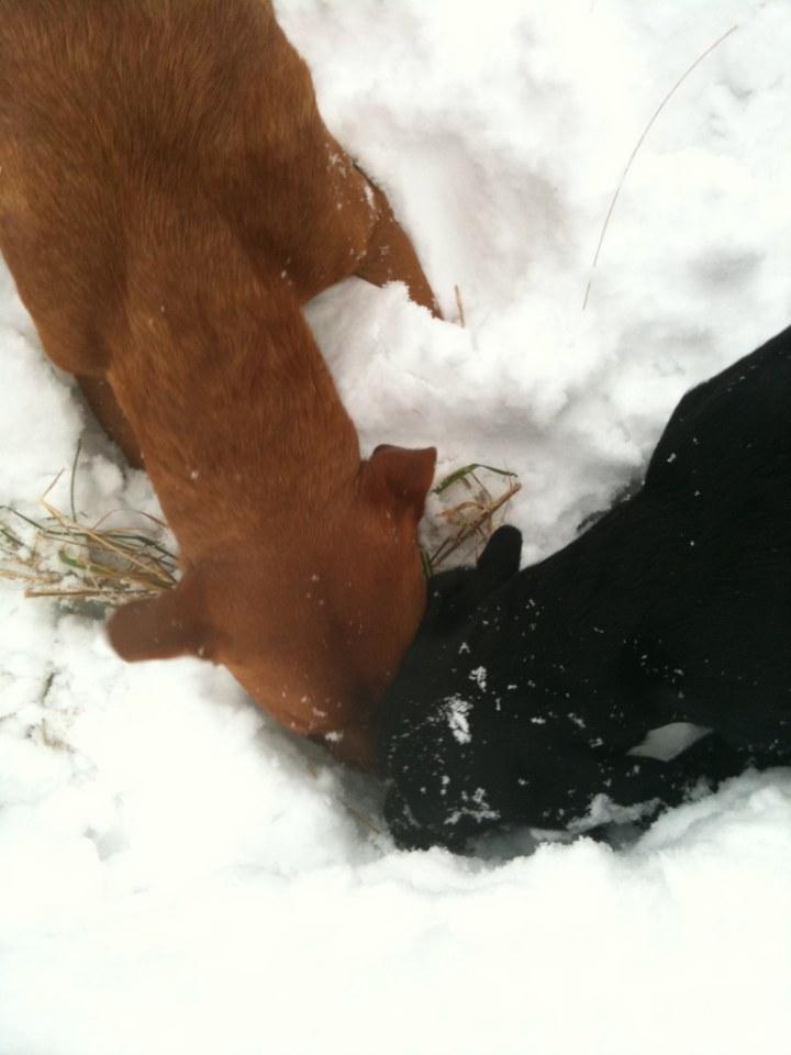 Hjälpa Fox att äta upp det han har hittat!