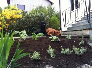 Här hjälper Fox och jag till när människorna fixar i trädgården.