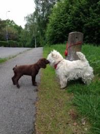 Hobby och GoGo (vår granne i stan) hälsar på varandra för första gången.