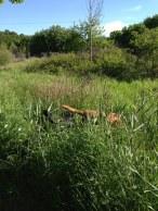 Nu får Hobby vara med oss i höga gräset. Men vi vet inte var han är.
