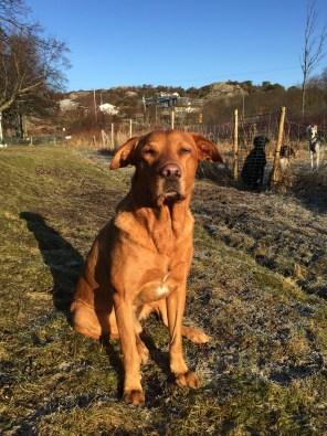 Fox fyller 8 år, i Hästevik