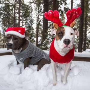 Christmas dogs in snow