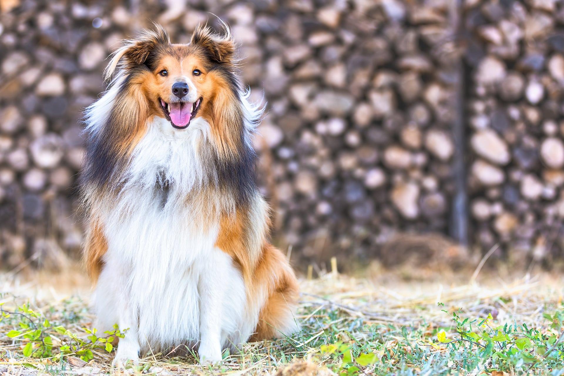 Berger Des Shetland in Vineyard pet portrait