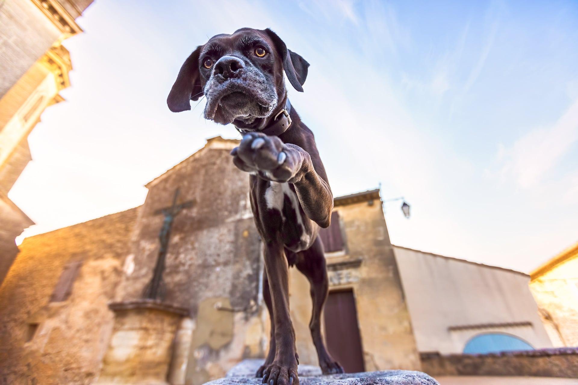 Boxer Cane Corso in France