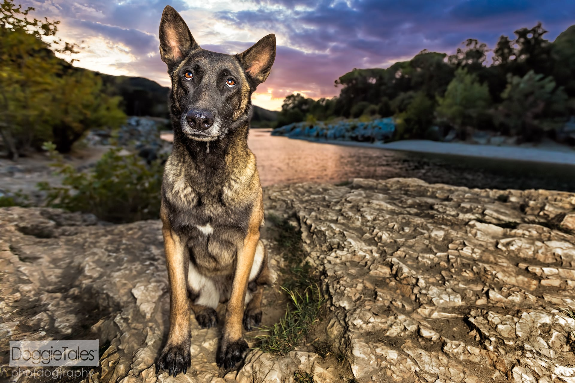 Belgian Malinois Pet Portrait