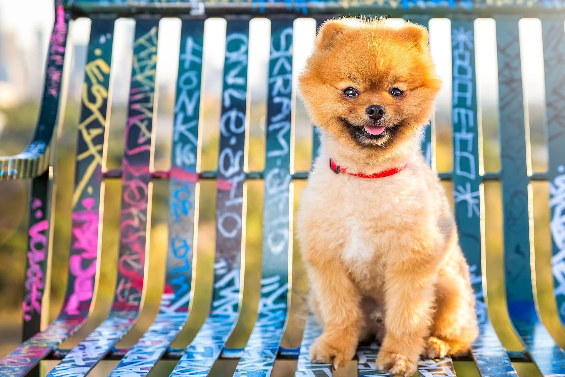 pomeranian dog graffiti bench