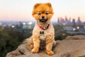 pomeranian dog los angeles skyline