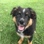 A Little Puppy Training For Buck The Australian Shepherd Dog Gone Problems