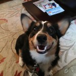 Training Tips Help This Corgi Puppy Learn To Come When Called Dog Gone Problems