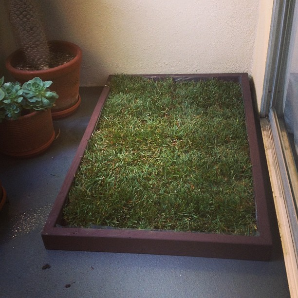 dog potty grass on rainy days doggy