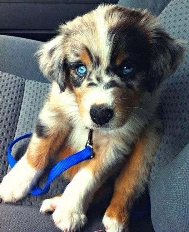 husky poodle mix puppy sitting on car seat