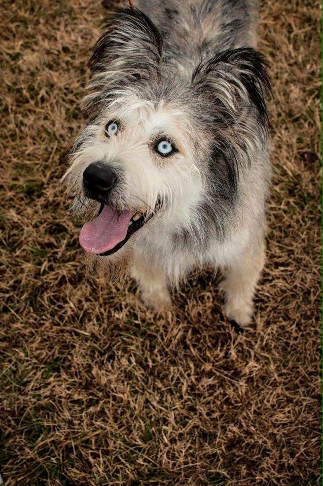 Husky poodle mix with blue eyes sticking tongue out