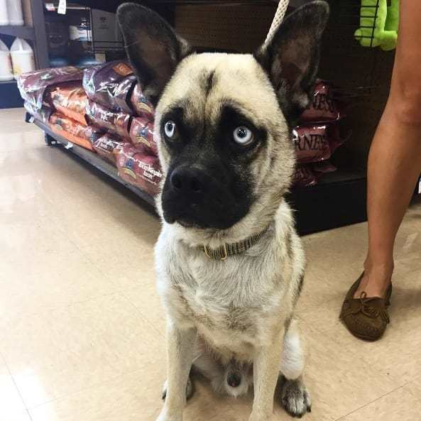 husky pug mix with blue eyes , black face, and caramel body looking straight ahead