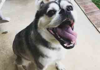 White and grey husky pug mix opening mouth and sticking tongue out