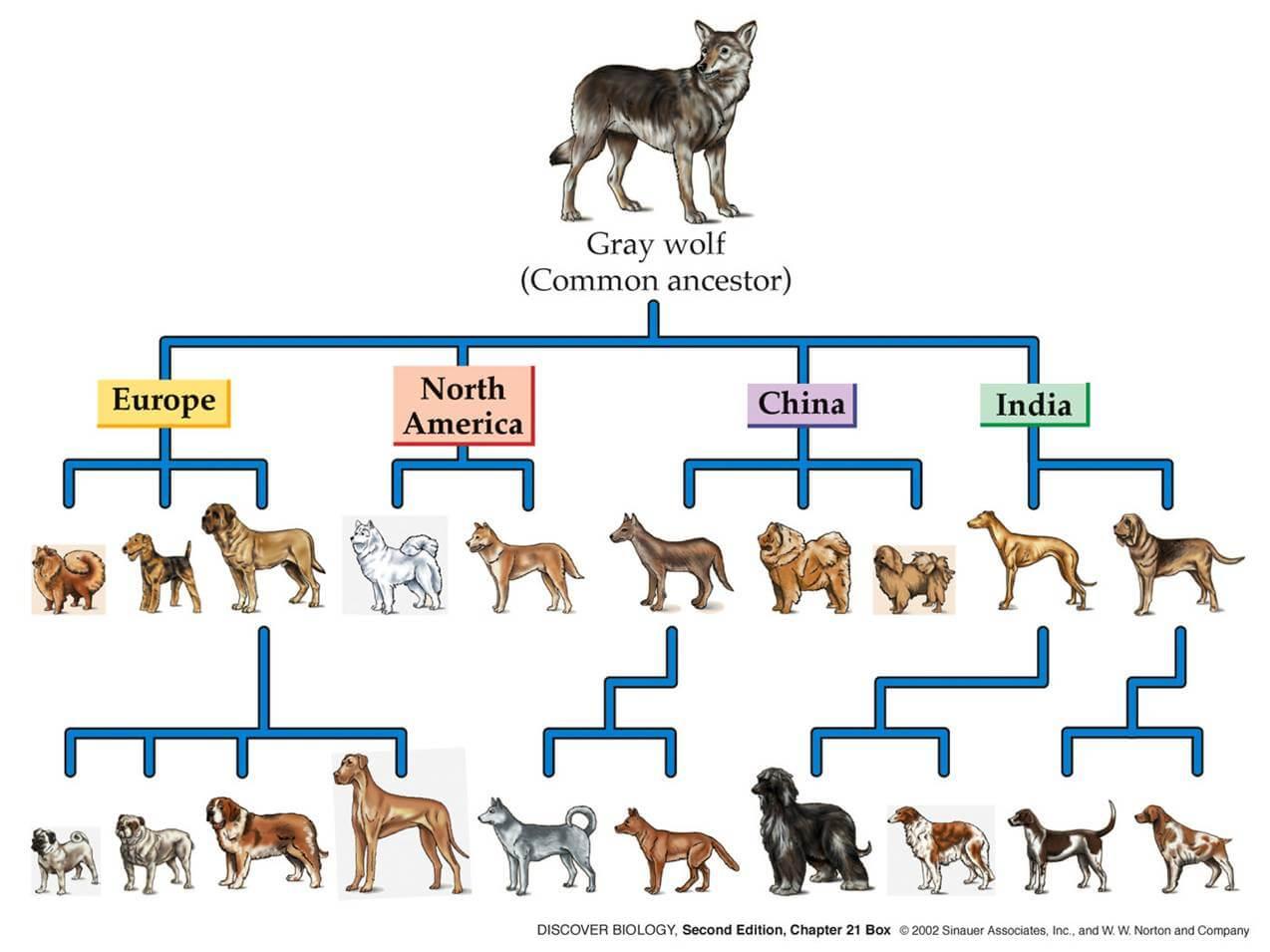 Dog Evolution Amp History