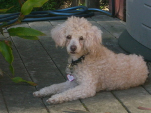 Fetch me at Bay Area Poodle Rescue
