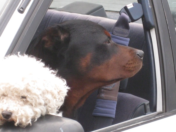 White  Black Dogs in a car