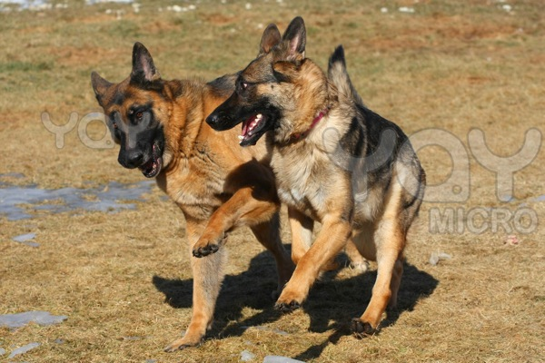 German shepherd dog ba8477