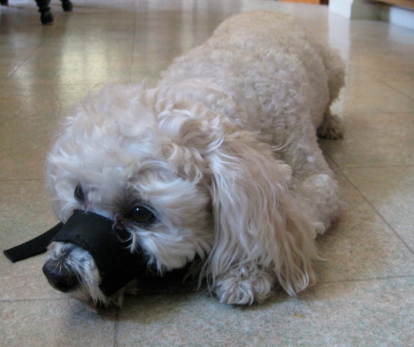 Short training session for wearing a dog muzzle.