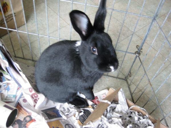 I am a satin rescue rabbit with plenty to say.