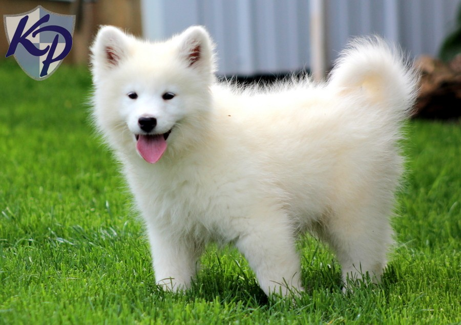Mix Adoption Samoyed Puppies