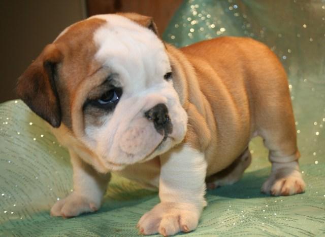 toy english bulldog puppies - goldenacresdogs