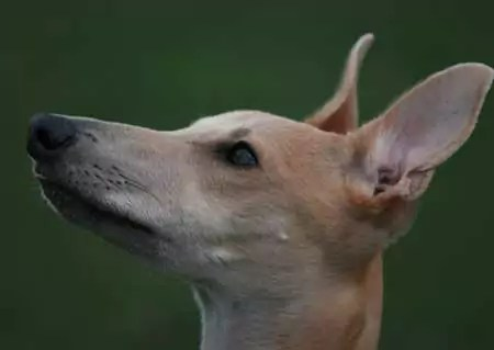 Attentive Whippet The Alpha Myth