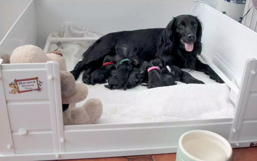 Fizz with 7 Pups that are one day old