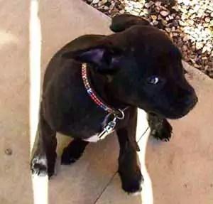 Black staff puppy