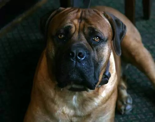 South Africa Mastiff Known As The BoerBoel This dog is called Kreuger