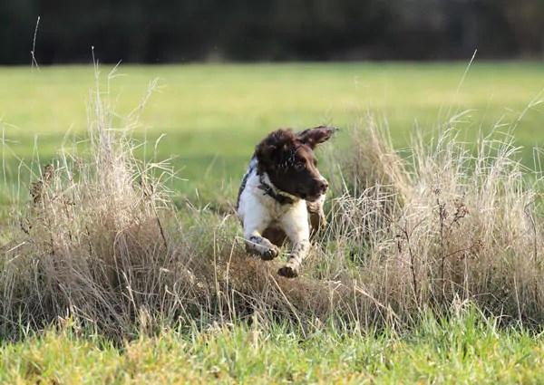 Springer Hunting For Game
