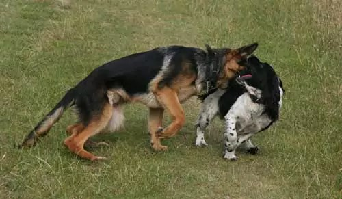 Dog aggression with a German Sheperd Pecking a spaniels Neck. Very common in Shepherds