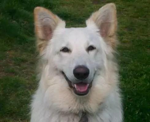KAI Stan Rawlinson White German Shepherd
