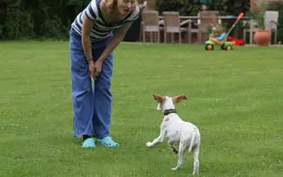 Pointer Recall see whistle in owners hands. This young dog is scampering back because of the whistle