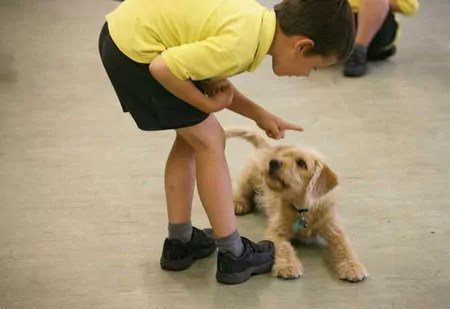Young handler working with a Cockerpoo in my classes