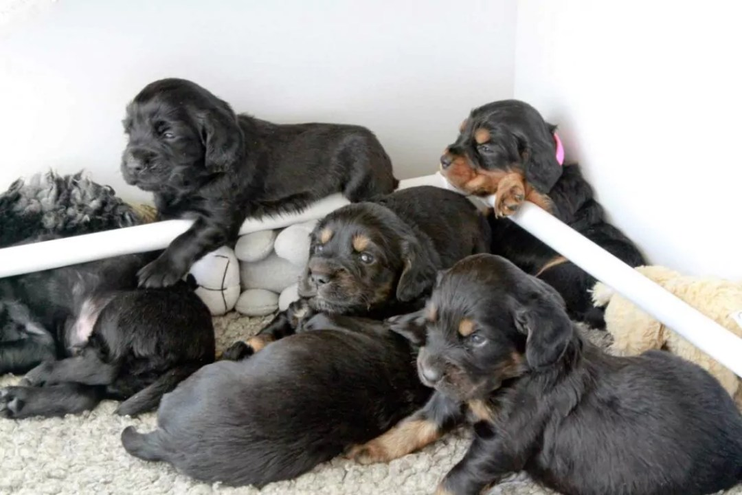 Pups relaxing in Whelping box